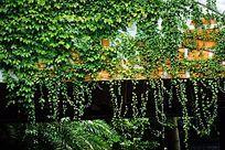 爬山虎绿墙