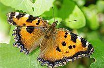 树叶上的黄色蝴蝶