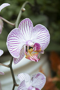 一朵淡紫色的兰花
