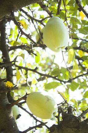 枝头的一个木瓜