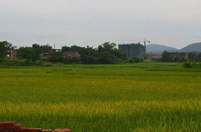 金绿色的稻田自然风景图片