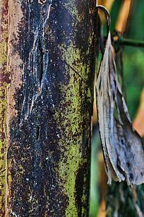 班驳的芭蕉树