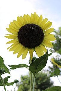淡黄色花瓣与黑色花盘