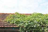 房顶上的葫芦藤蔓