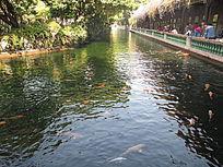 湖水中金鱼