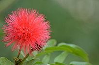 毛绒绒的红色小花