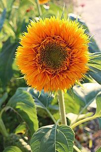 一朵盛开金色的重瓣向日葵