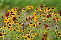 黄色野菊花朵图片