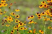 黄色野菊鲜花花卉图片
