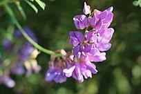 一串清新的紫色花