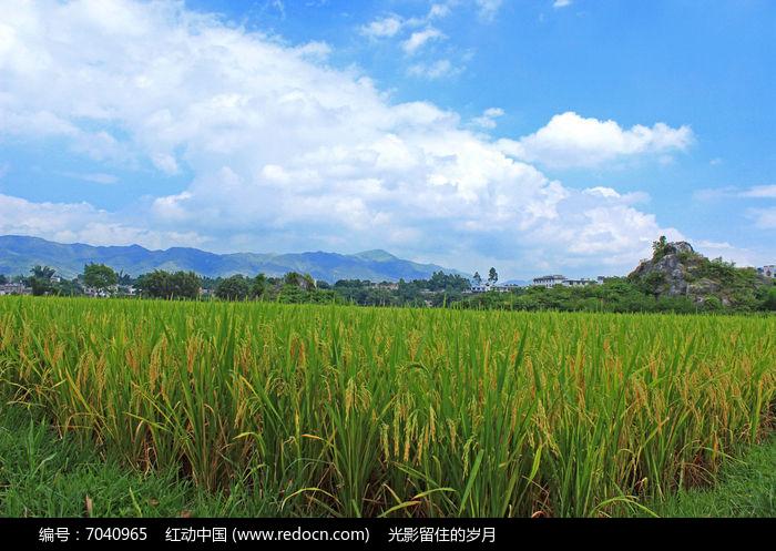 成熟的稻穗图片