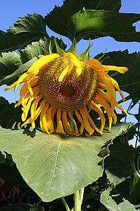 花朵叶子花粉