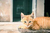 可爱的黄色猫咪