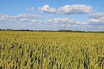 蓝天云朵金色稻田