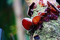 食用菌木耳