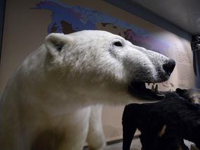 北极熊头部特写
