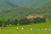 山茶采茶风景图片