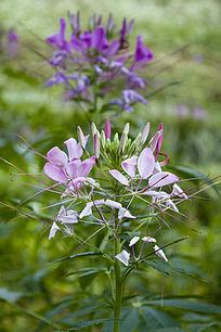 一株淡紫色的醉蝶花