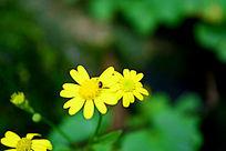 菊花上的小虫