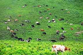 牧场三河牛