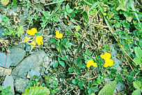 米亚罗路边野花小黄花