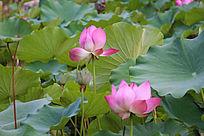 美丽荷花朵朵