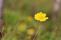 美丽黄色格桑花