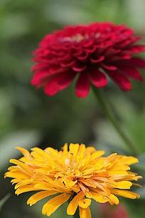 色彩艳丽的百日草