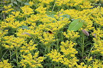 一片小黄花