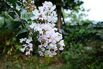 白丁香紫薇花