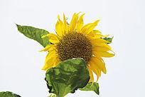 害羞的向日葵花