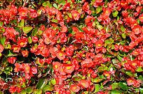 红色小花背景