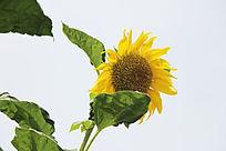 唯美向日葵花