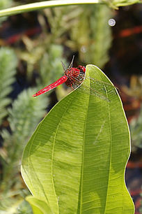 叶子上的红蜻蜓