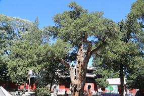 大觉寺的古树银杏