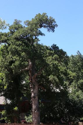 大觉寺的银杏古树