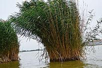 湖面上风吹动的芦苇从