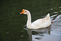 水中白天鹅