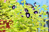 紫色蝴蝶兰