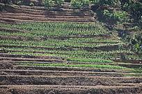 哀牢山山坡上绿油油的玉米和筷豆