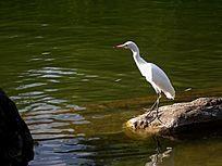 白鹭鸟图片
