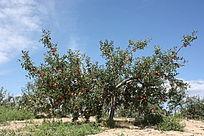 好看的苹果树