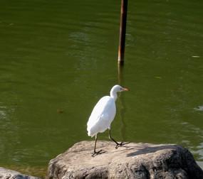 湖边的白鹭