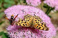 玳瑁蝴蝶与蜜蜂采花