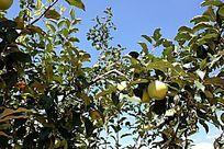 苹果园的亲苹果
