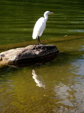 水边的白鹭