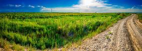 向日葵芦苇草