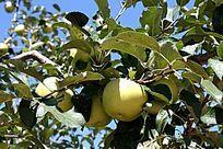 诱人的青苹果
