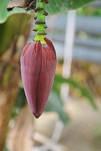 芭蕉树花苞花朵
