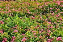 粉色小花花海风景图片